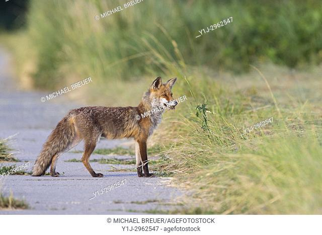 Red fox (Vulpes vulpes) with mouses, Hesse, Germany, Europe
