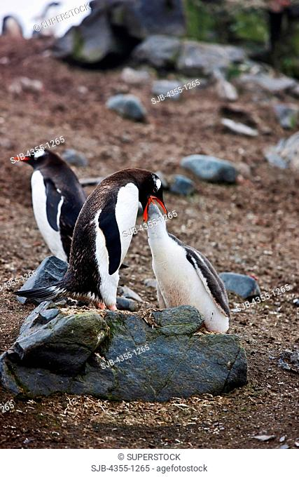 Gentoo Penguin Feeding Her Chick at Aitcho Island