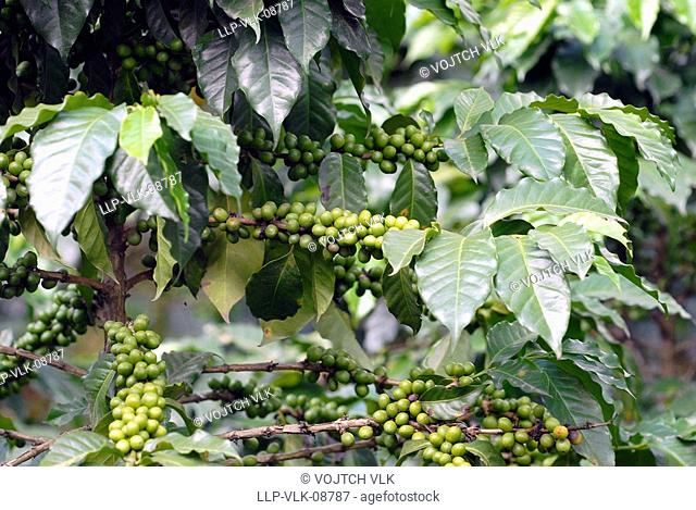 The green unripe grain of koffe on tree