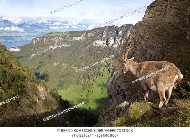 female Alpine Ibex (Capra ibex) standing on rock, Niederhorn, Bernese Oberland, Switzerland
