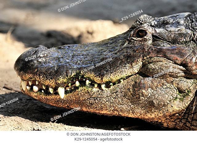 American Alligator Alligator missippiensis