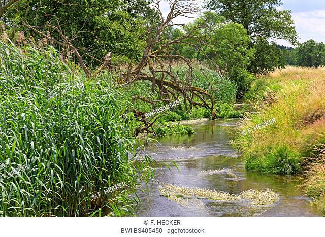 water crowfoot (Ranunculus aquatilis agg.), natural creek Schaale, Germany