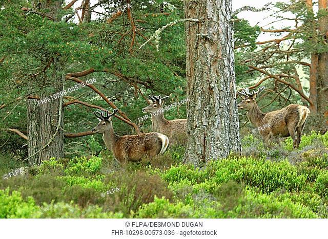 Red Deer Cervus elaphus three stags, in velvet, standing in pine forest, Cairngorms N P , Highlands, Scotland