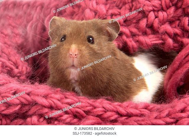 golden hamster, Stock Photo, Picture And Rights Managed