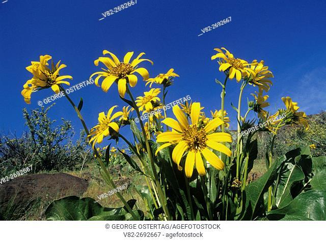 Balsamroot (Balsamorhiza deltoidea), Deschutes Wild & Scenic River, Lower Deschutes National Back Country Byway, Oregon