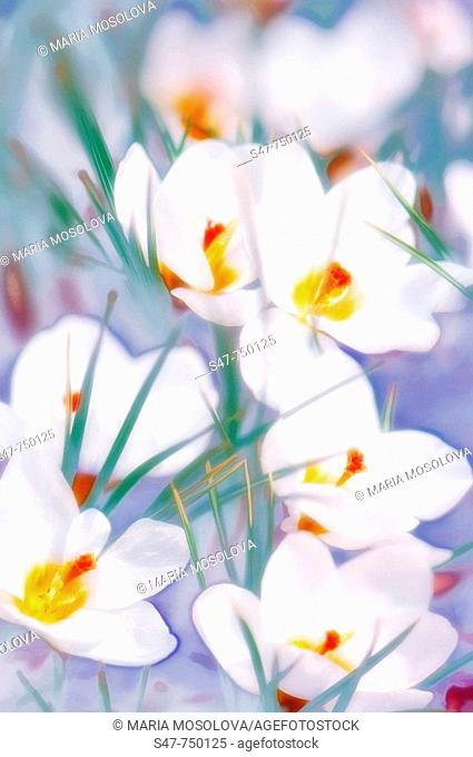 White Crocuses in Bloom. Crocus biflorus 'Purity'. March 2007, Maryland, USA