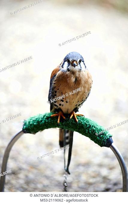 American kestrel on a perch (falco sparverius)
