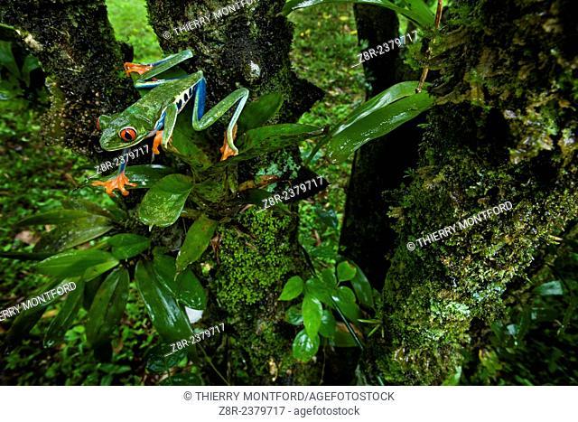 Agalychnis callidryas. Red eyed tree frog in a tree. Costa Rica