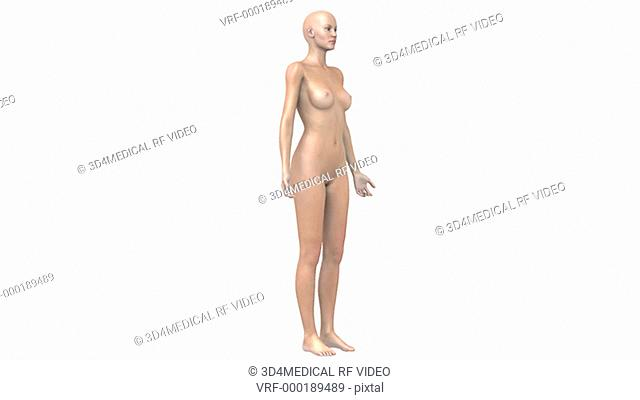 Animation depicting the organs and glands of the female endocrine system. All elements of the animation are in a stylized view