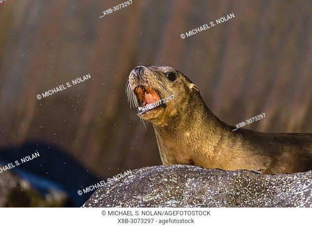 Young California sea lion, Zalophus californianus, surrounded by insects, Isla San Pedro Martir, Baja California, Mexico