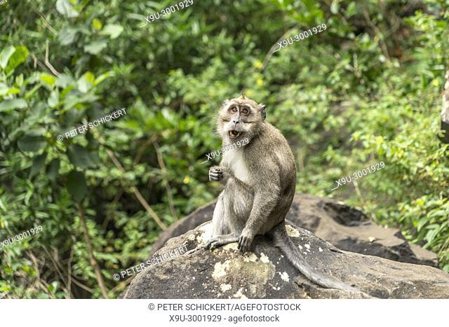 crab-eating macaque (Macaca fascicularis), Black River Gorges National Park, Mauritius, Africa