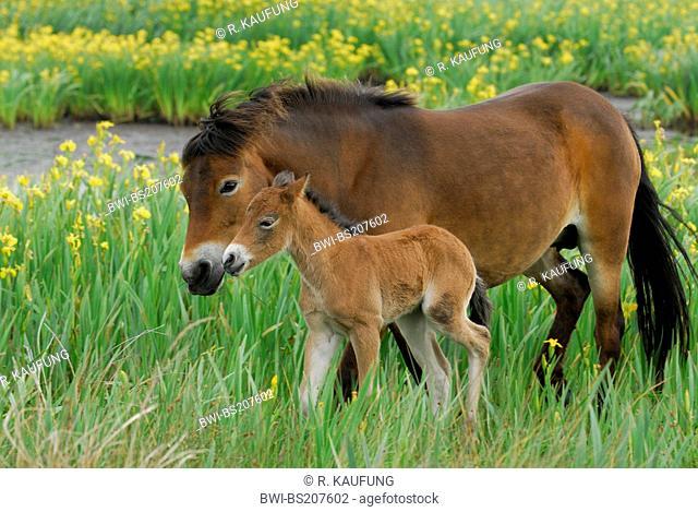 Exmoor pony (Equus przewalskii f. caballus), mare with foal between yellow iris (Iris pseudacorus), Netherlands, Texel