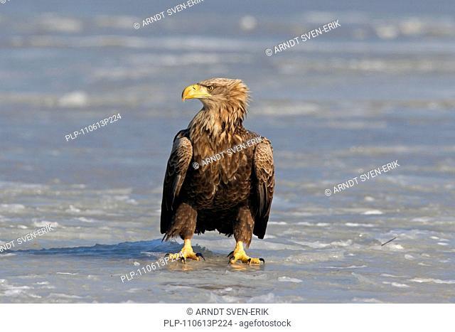 White-tailed Eagle / Sea Eagle / Erne Haliaeetus albicilla on frozen lake in winter, Germany