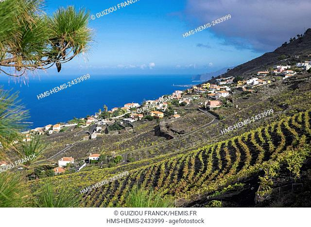 Spain, Canary Islands, La Palma island declared a Biosphere Reserve by UNESCO, Quemados village (Fuencaliente), vineyard on the slopes of San Antonio volcano