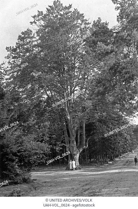 Großer alter Baum im Königsfrost bei Köln, Deutschland 1920er Jahre. Bug old tree at Koenigsforst forest near Cologne, Germany 1920s