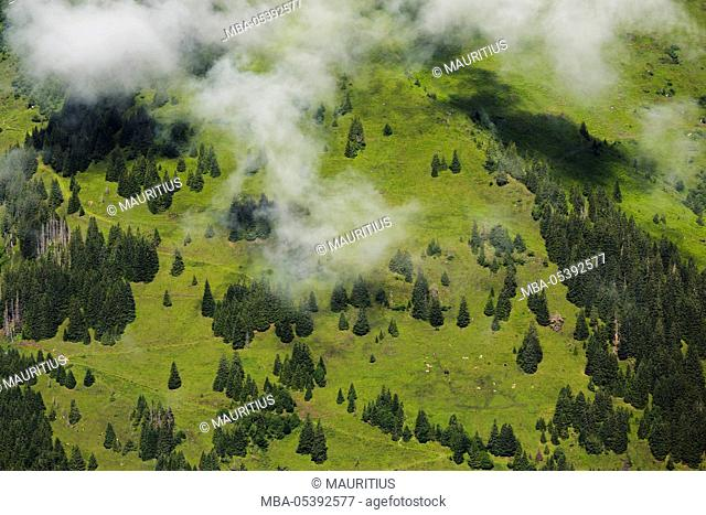 Mountain forest in the Hohe Tauern National Park, cows, Salzburg, Austria