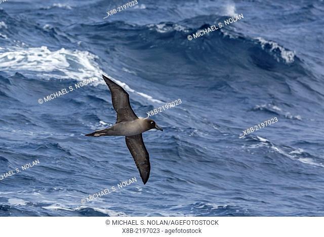 Adult light-mantled sooty albatross, Phoebetria palpebrata, in flight in the Drake Passage, Antarctica