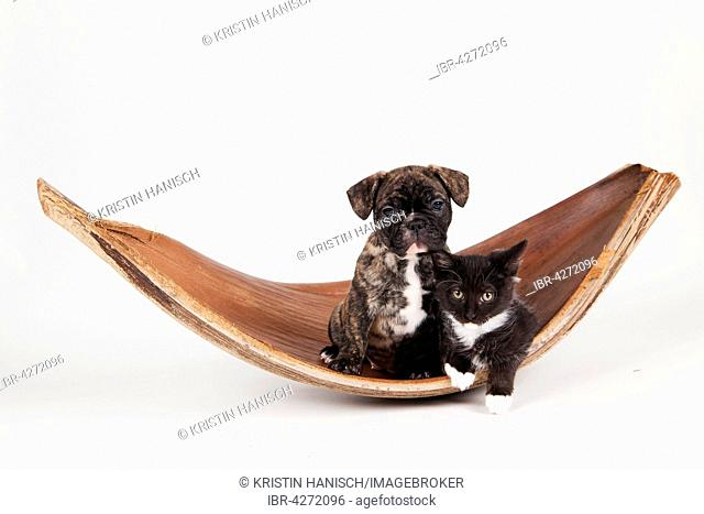 French bulldog (Canis lupus familiaris) with black and white house cat (Felis silvestris catus), animal friendship
