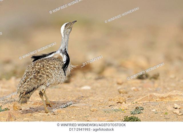 Displaying Houbara bustard in the half-desert of Fuerteventura, Canary Islands