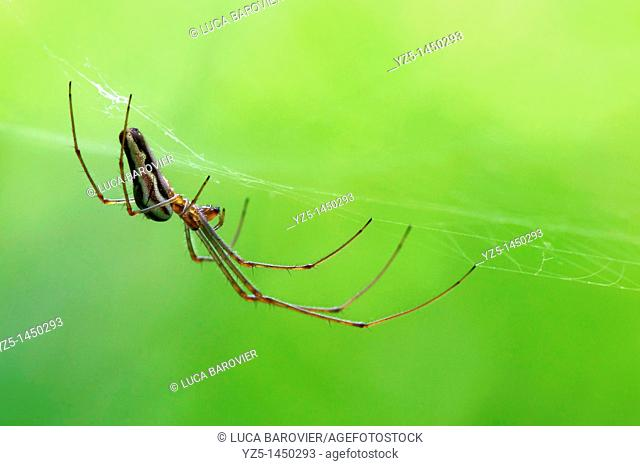 Tetragnatha - Long jawed spider