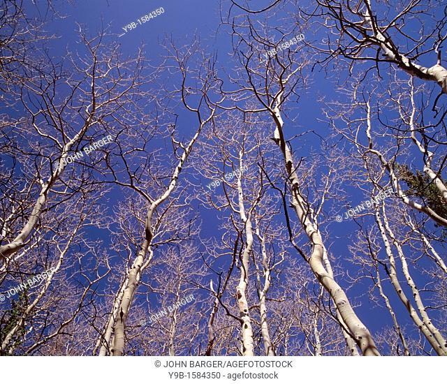 Leafless quaking aspen Populus tremuloides reach skyward, near Lehman Creek, Great Basin National Park, Nevada, USA