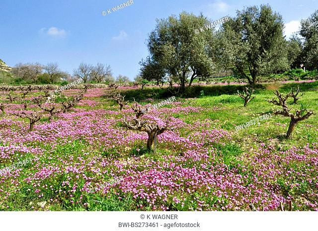 Silene fuscata Silene fuscata, vineyard with Silene fuscata, Cyprus, Akamas