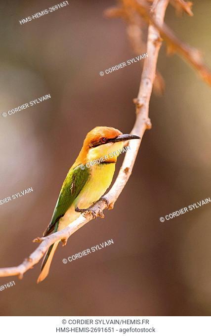 Sri Lanka, Yala national patk, Chestnut-headed bee-eater (Merops leschenaulti)