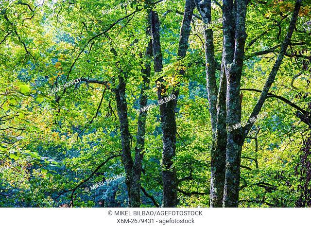 Beechwood. Ucieda. Saja-Besaya Natural Park. Cabuerniga valley. Cantabria, Spain