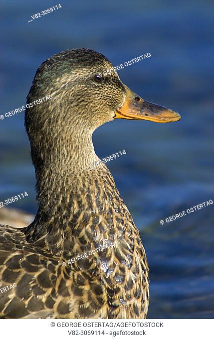 Duck in Paulina Lake, Newberry National Volcanic Monument, Oregon