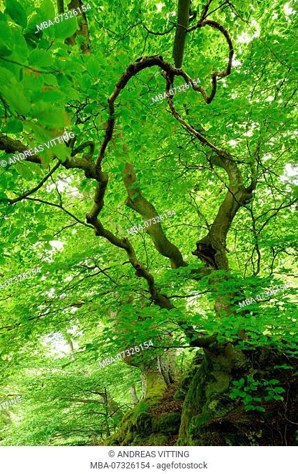 Old overgrown beech treees on moss-covered rocks, Kellerwald-Edersee nature park, Hesse, Germany