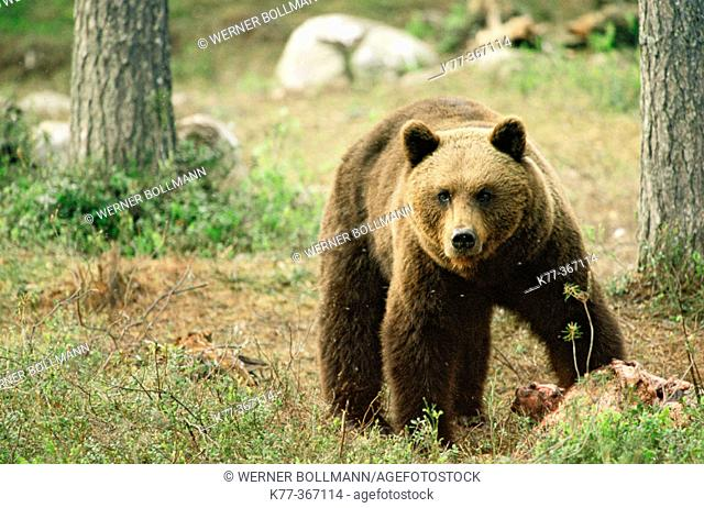 Brown bear with carcass for bait (Ursus arctos). Finland