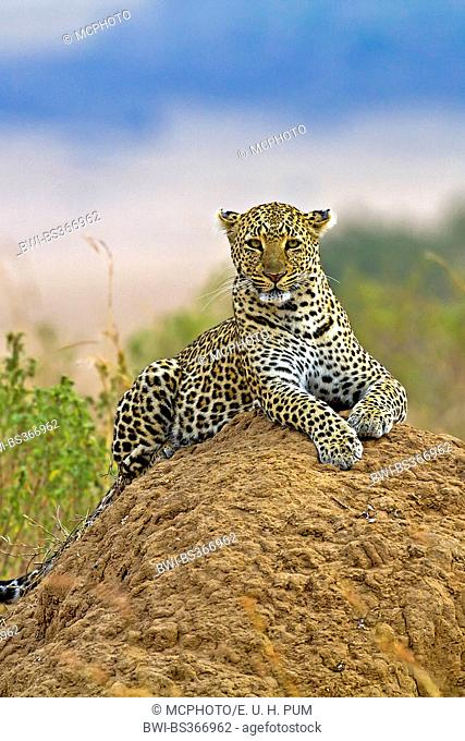 leopard (Panthera pardus), lying on a termite hill and watching the surrounding, Kenya, Masai Mara National Park