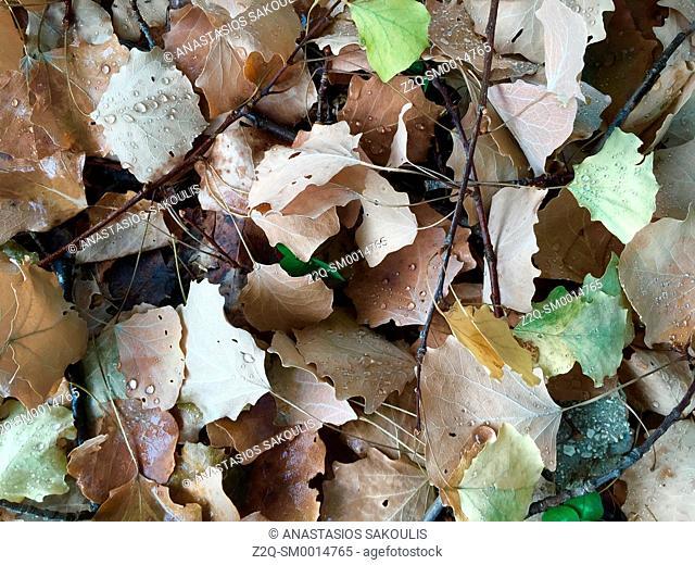 Populus tremula leaves, NW Greece