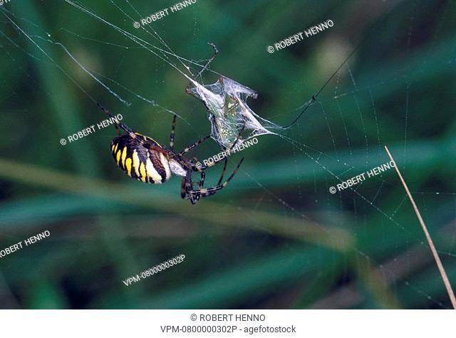 ARGIOPE BRUENNICHIORBWEB-SPIDER - WASP SPIDEREUROPE - ARGIOPIDAEWITH PREY
