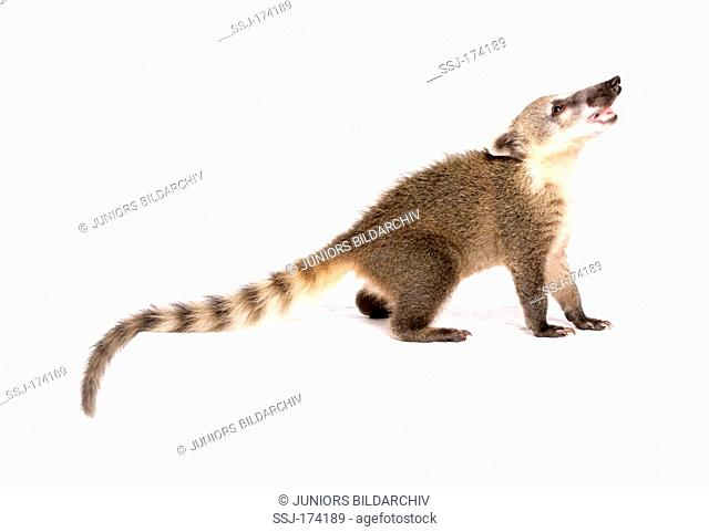 Ring-tailed Coati, Coatimundi (Nasua nasua), Juvenile standing, seen side-on. Studio picture against a white background