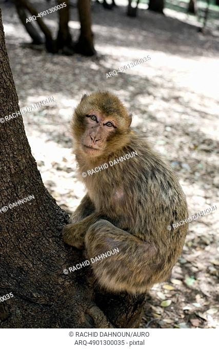 A Barbary macaque monkey, an endangered species, sits on a tree in the Ifrane National Park in the Middle Atlas Mountains near Ifrane, Morocco