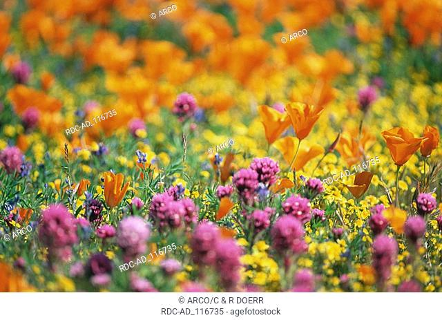Flower meadow with Californian Poppy and Owl's Clover Antelope Valley California USA Eschscholzia californica