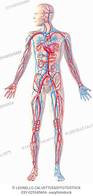 Human circulatory system, full figure, cutaway anatomy illustration, with clipping path included