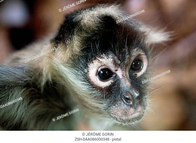 Black-handed spider monkey (Aprimateteles geoffroyi)