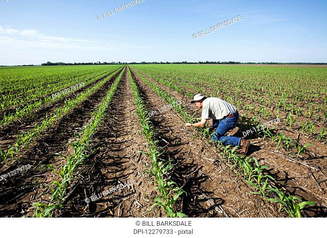 Farmer checking young corn plants at five to six leaf stage for insect pests, reduced tillage method; England, Arkansas, United States of America