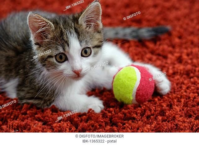 Young domestic cat with toy ball