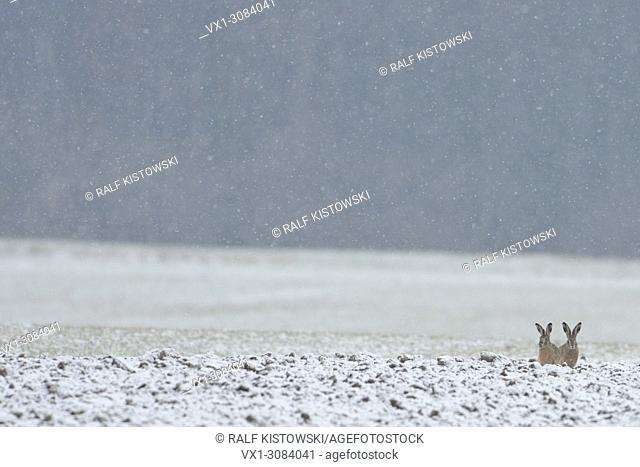 Funny two Brown Hares / European Hares ( Lepus europaeus ) sitting in the edge on a field while snow falls waiting for better weather, wildlife, Europe