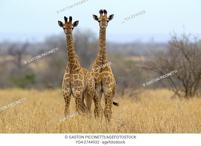 Giraffe (Giraffa camelopardalis), Kruger National Park, South Africa