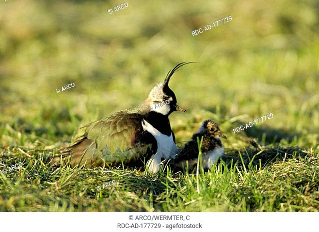 Lapwing with chick, Netherlands, Vanellus vanellus