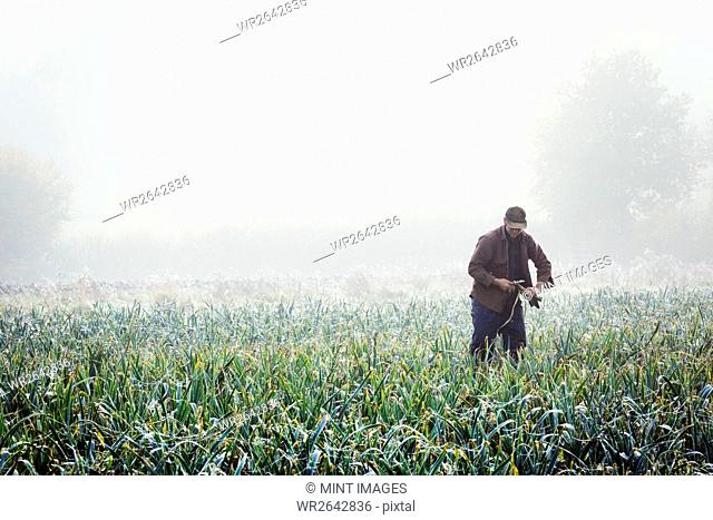 A man lifting and trimming organic leeks in a field, mist rising from the ground