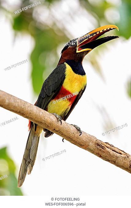 Brazil, Mato Grosso, Mato grosso do Sul, Pantanal, chestnut-eared aracari, Pteroglossus castanotis