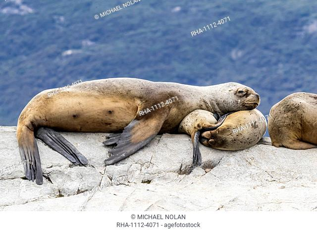 South American sea lions, Otaria flavescens, hauled out on a small islet in the Beagle Channel, Ushuaia, Argentina, South America