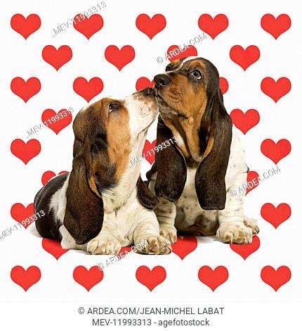 Dog, Basset Hound, two 'kissing' on heart background