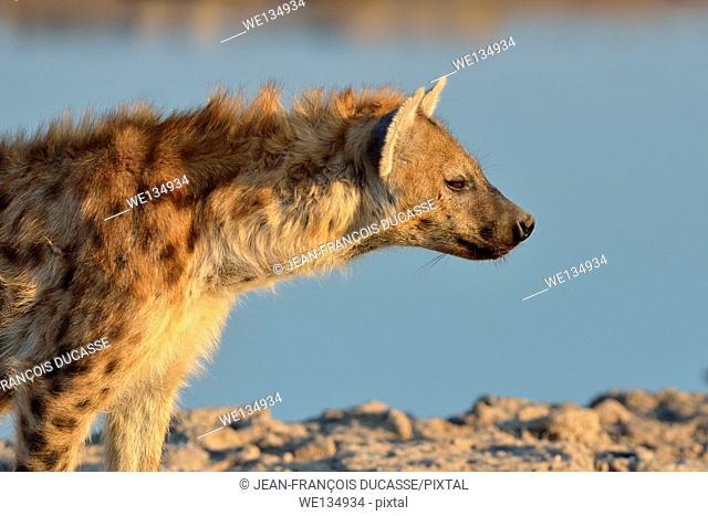 Spotted Hyena (Crocuta crocuta), at waterhole, in late afternoon, Etosha National Park, Namibia, Africa