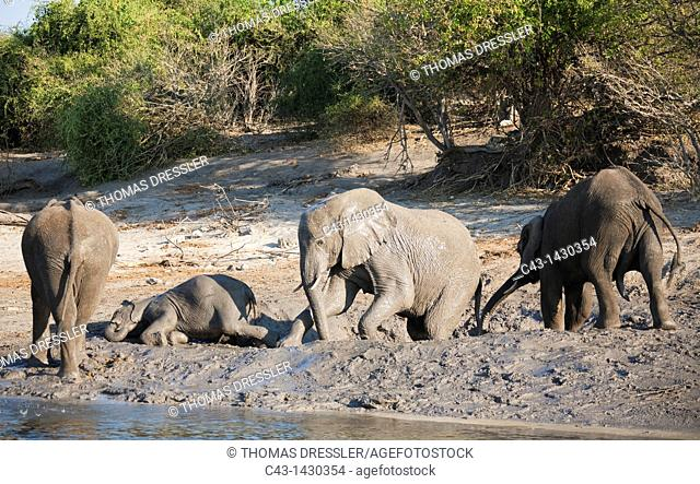 African Elephant Loxodonta africana - Small family highly enjoying a muddy pool next to the Chobe River  Photographed from a boat  Chobe National Park, Botswana